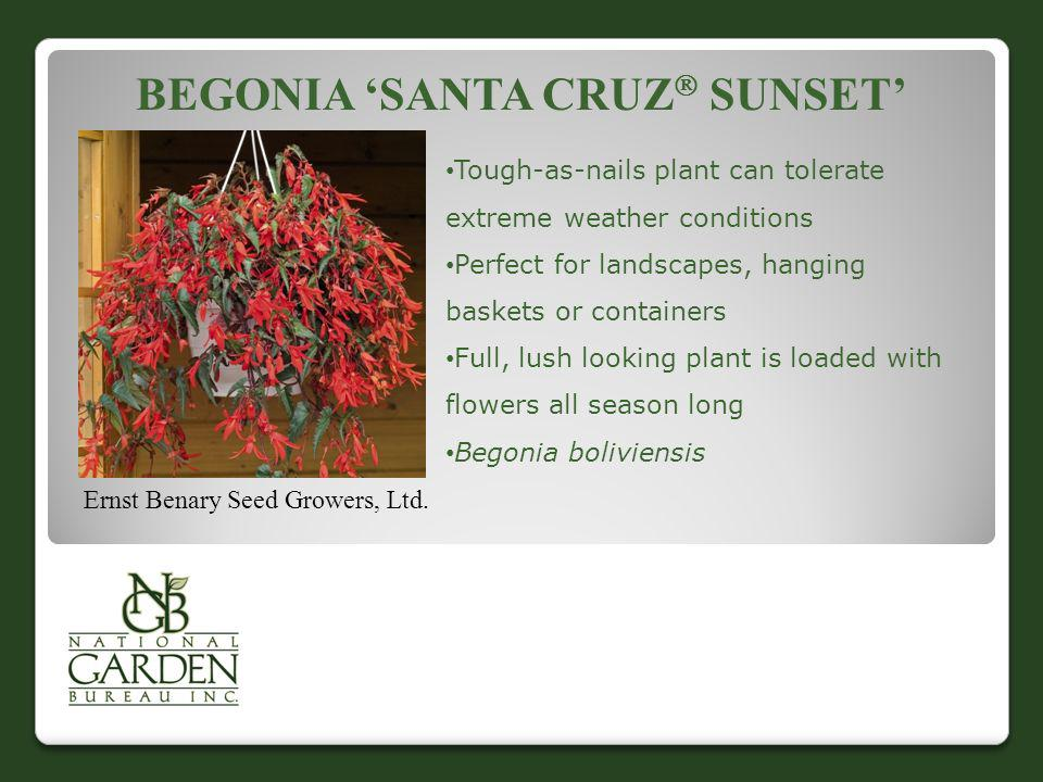 Begonia 'Santa Cruz Sunset'