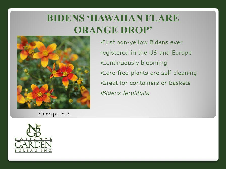 Bidens 'Hawaiian Flare Orange Drop'