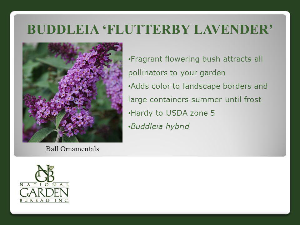 Buddleia 'Flutterby Lavender'