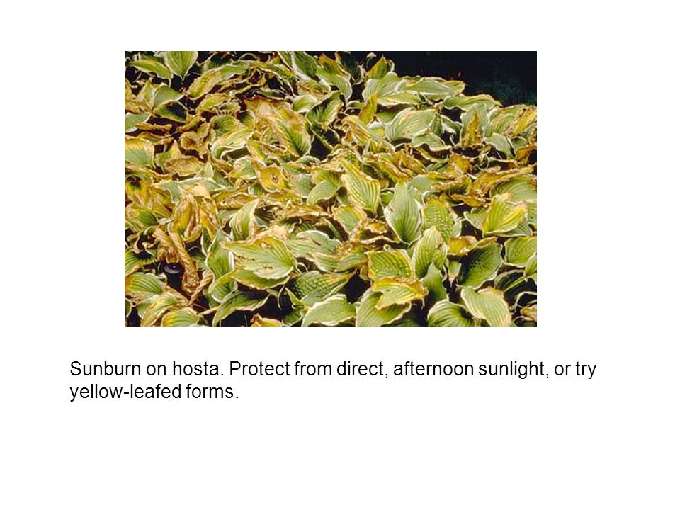 Sunburn on hosta. Protect from direct, afternoon sunlight, or try yellow-leafed forms.