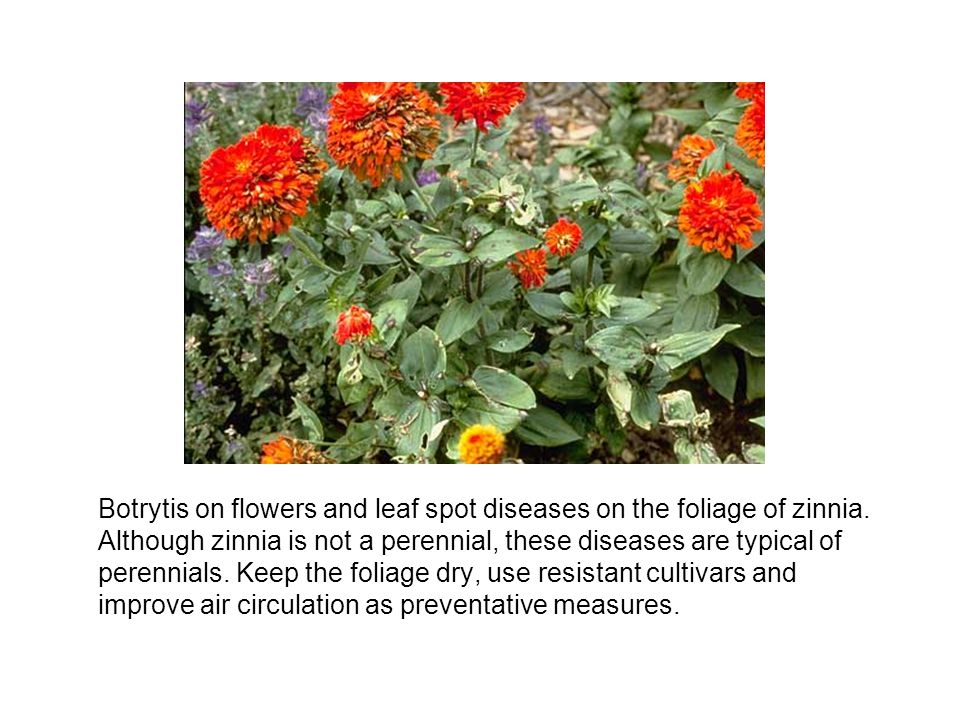 Botrytis on flowers and leaf spot diseases on the foliage of zinnia