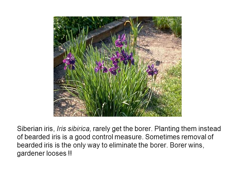 Siberian iris, Iris sibirica, rarely get the borer