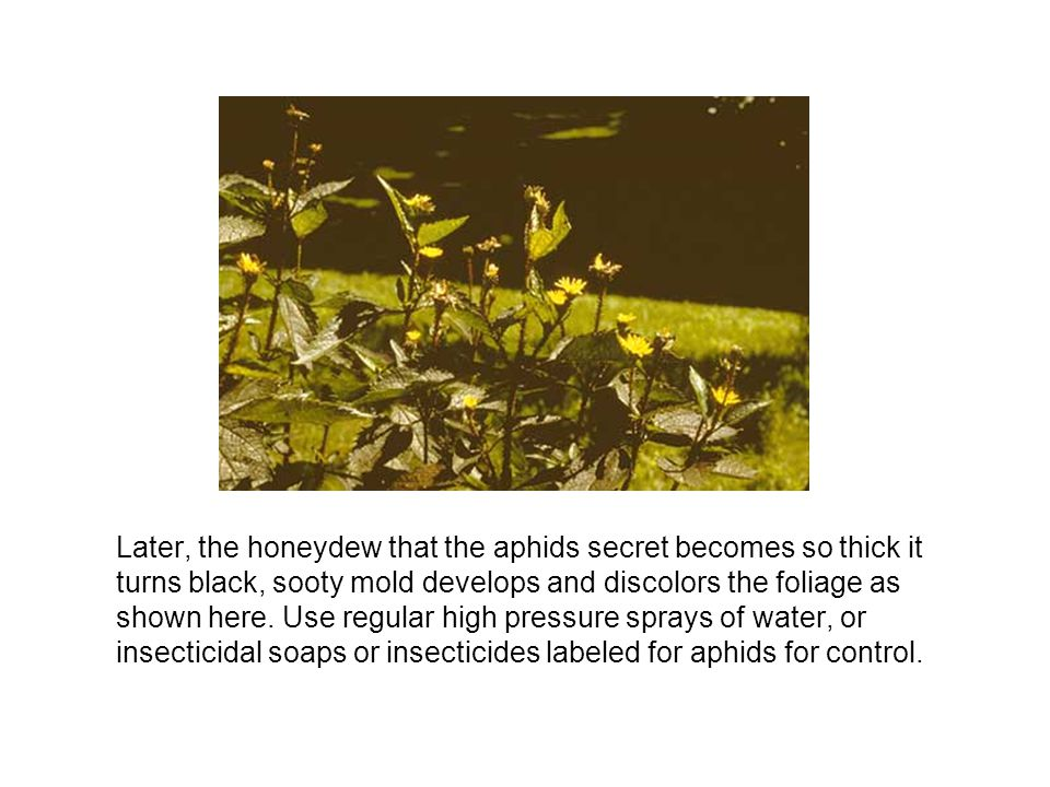 Later, the honeydew that the aphids secret becomes so thick it turns black, sooty mold develops and discolors the foliage as shown here.