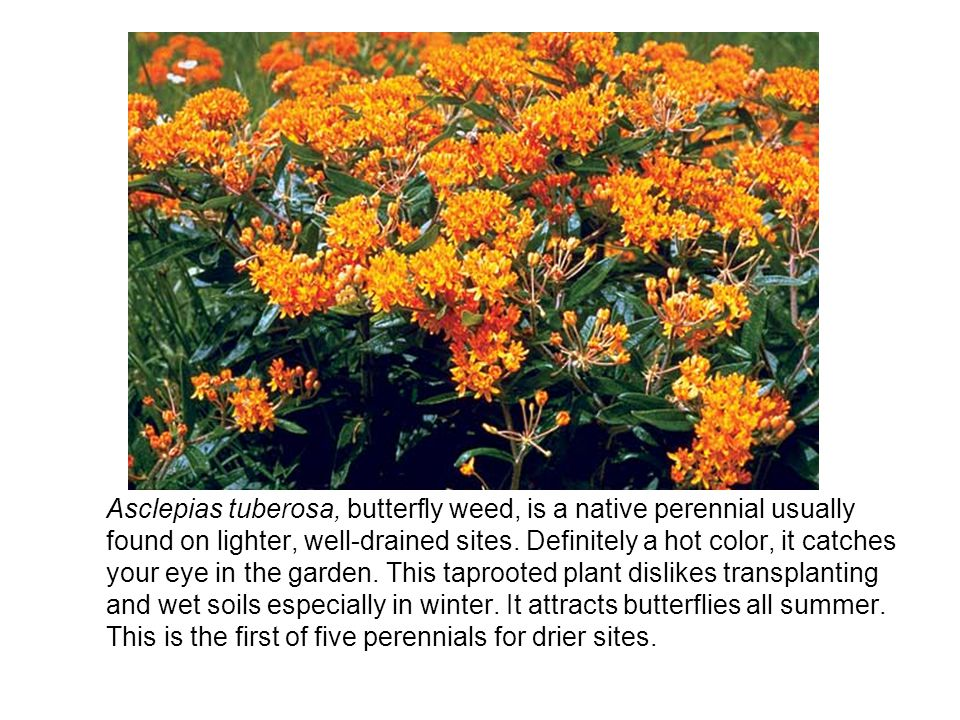 Asclepias tuberosa, butterfly weed, is a native perennial usually found on lighter, well-drained sites.