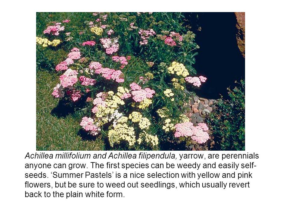 Achillea millifolium and Achillea filipendula, yarrow, are perennials anyone can grow.