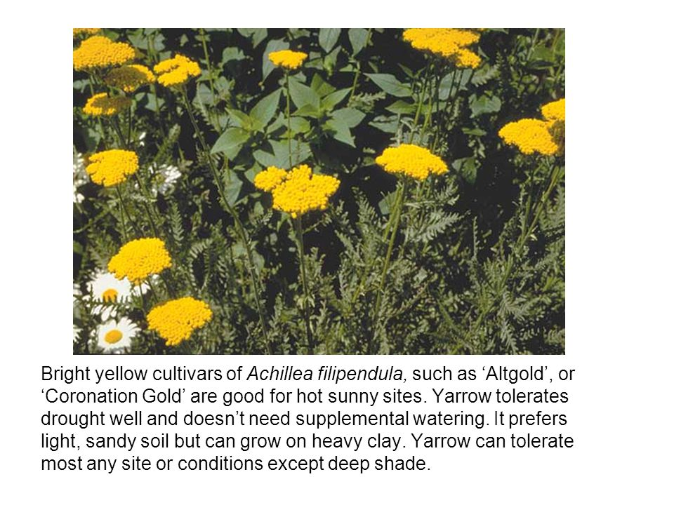Bright yellow cultivars of Achillea filipendula, such as 'Altgold', or 'Coronation Gold' are good for hot sunny sites.