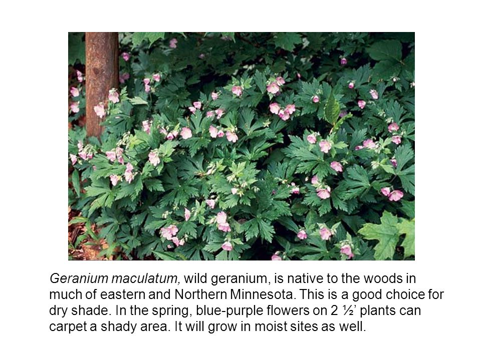 Geranium maculatum, wild geranium, is native to the woods in much of eastern and Northern Minnesota.