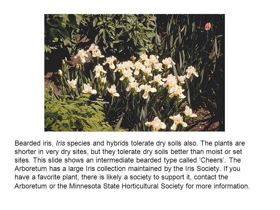 Bearded iris, Iris species and hybrids tolerate dry soils also