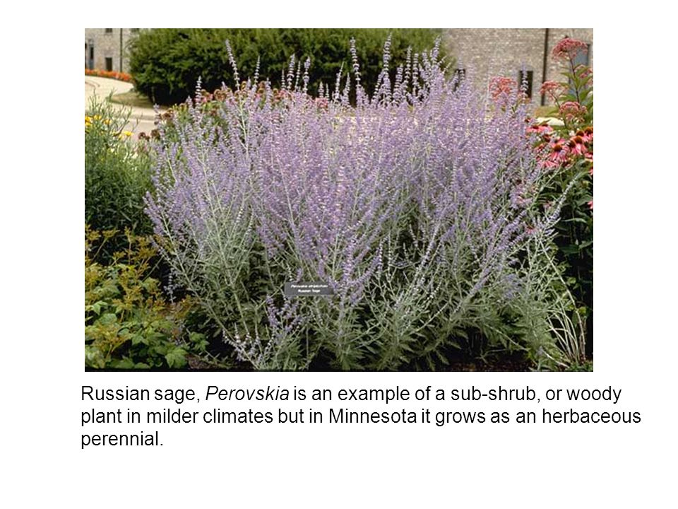Russian sage, Perovskia is an example of a sub-shrub, or woody plant in milder climates but in Minnesota it grows as an herbaceous perennial.