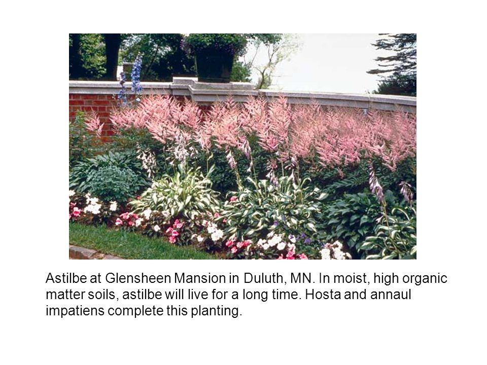 Astilbe at Glensheen Mansion in Duluth, MN