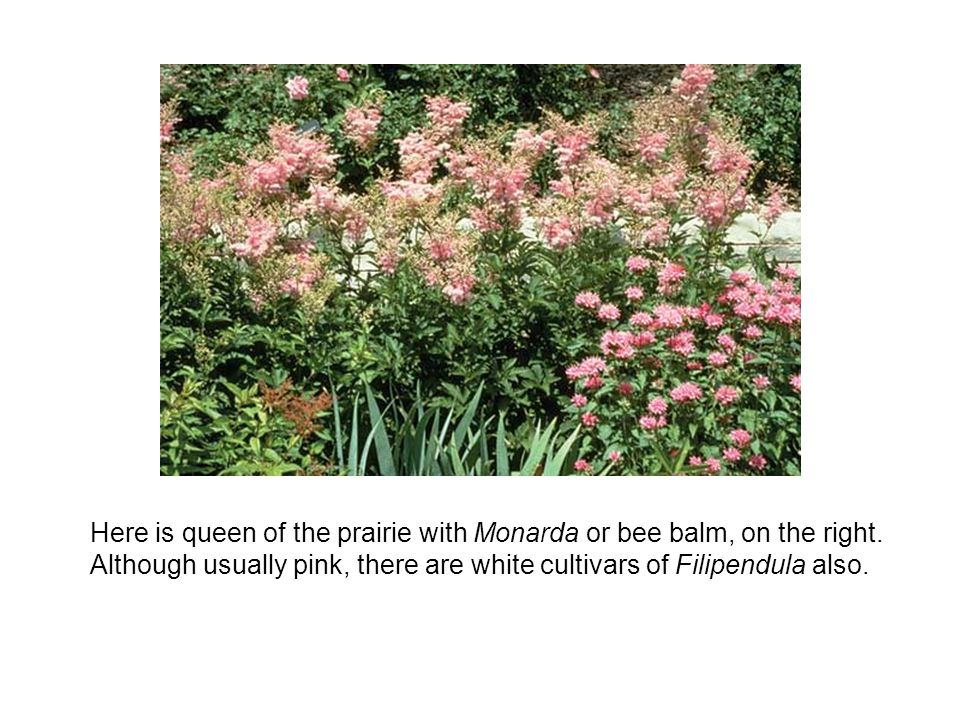 Here is queen of the prairie with Monarda or bee balm, on the right