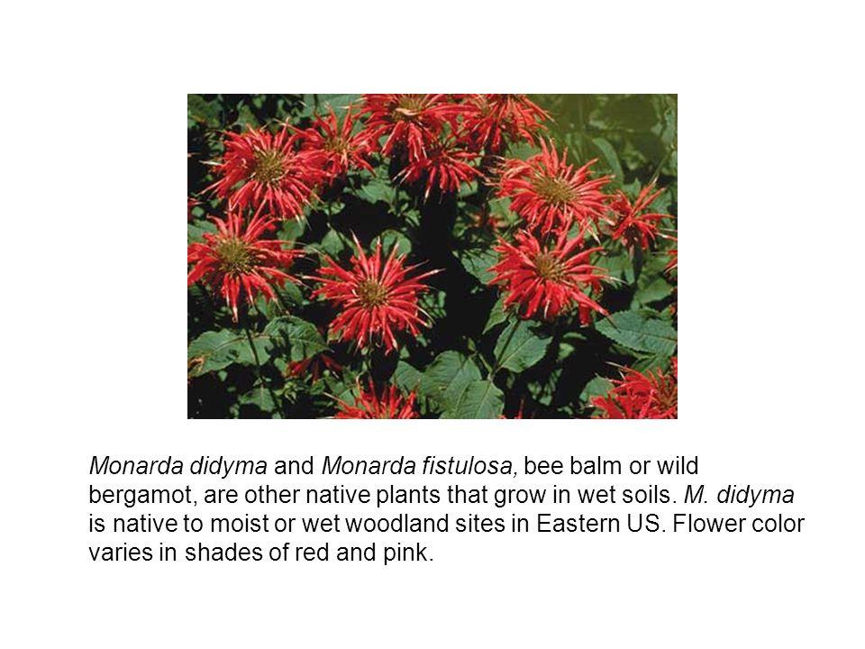Monarda didyma and Monarda fistulosa, bee balm or wild bergamot, are other native plants that grow in wet soils.