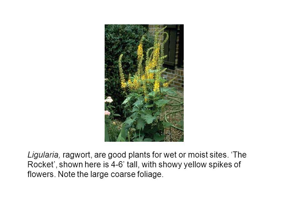 Ligularia, ragwort, are good plants for wet or moist sites