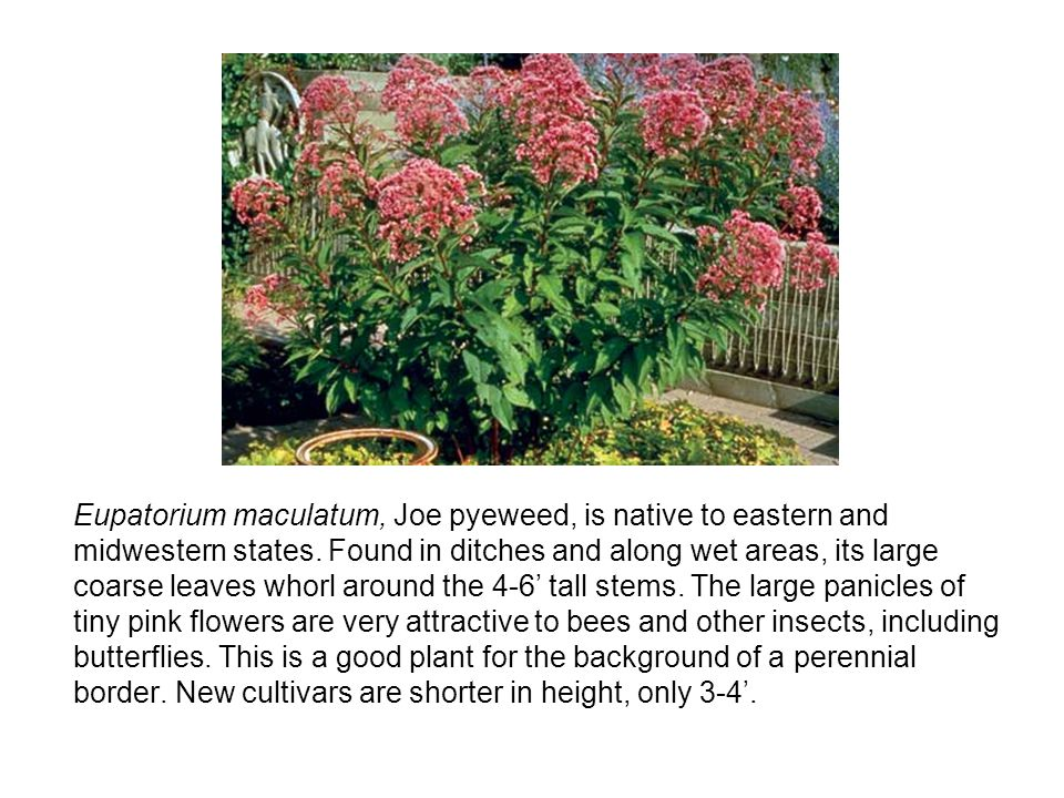 Eupatorium maculatum, Joe pyeweed, is native to eastern and midwestern states.