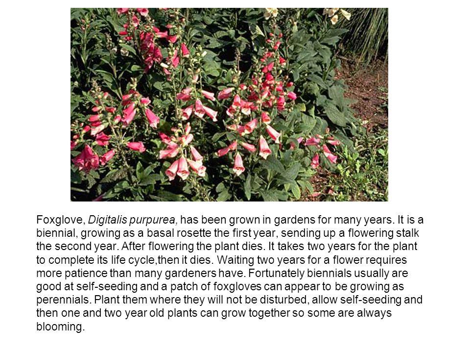 Foxglove, Digitalis purpurea, has been grown in gardens for many years