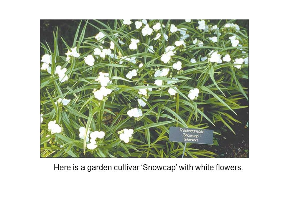 Here is a garden cultivar 'Snowcap' with white flowers.