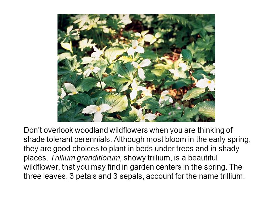 Don't overlook woodland wildflowers when you are thinking of shade tolerant perennials.