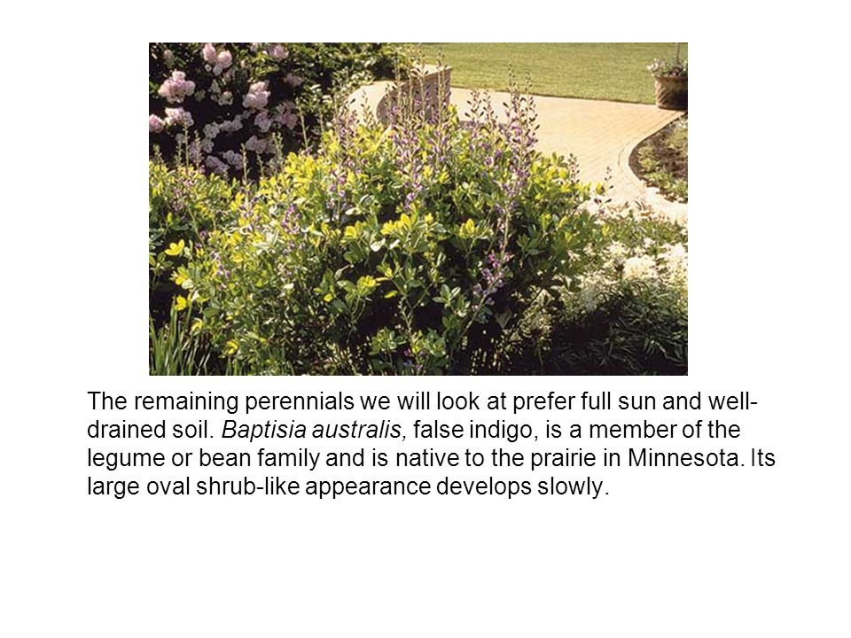 The remaining perennials we will look at prefer full sun and well-drained soil.