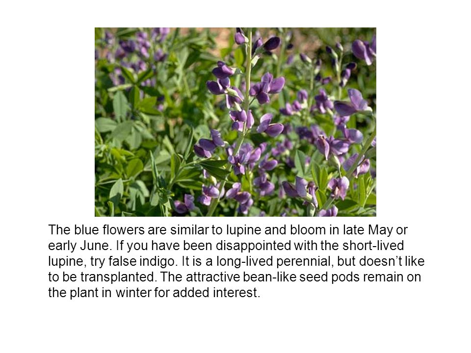 The blue flowers are similar to lupine and bloom in late May or early June.