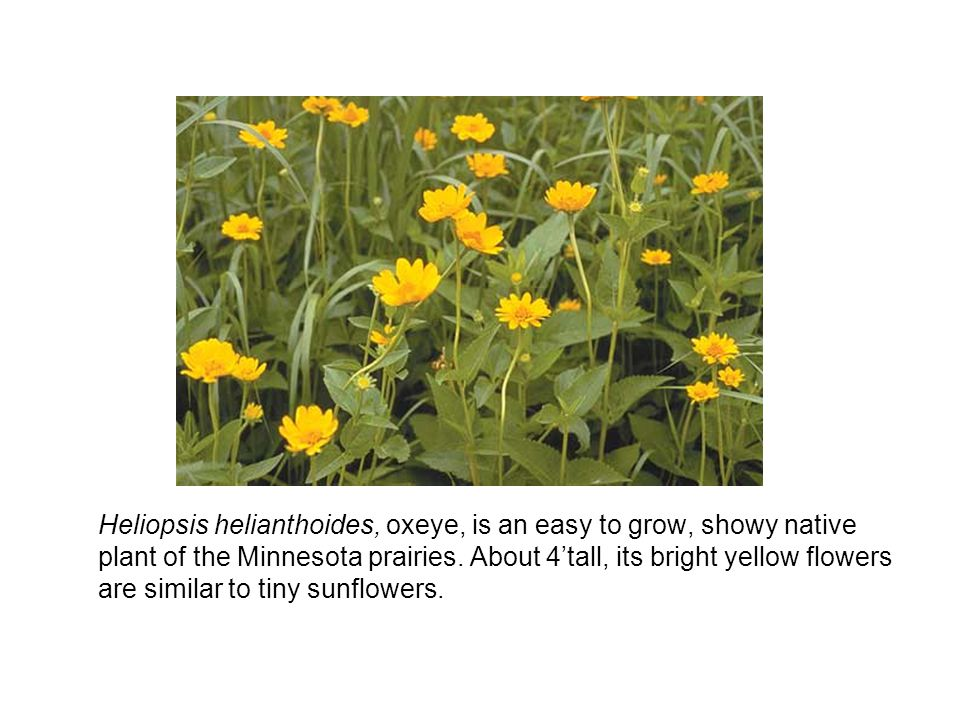 Heliopsis helianthoides, oxeye, is an easy to grow, showy native plant of the Minnesota prairies.