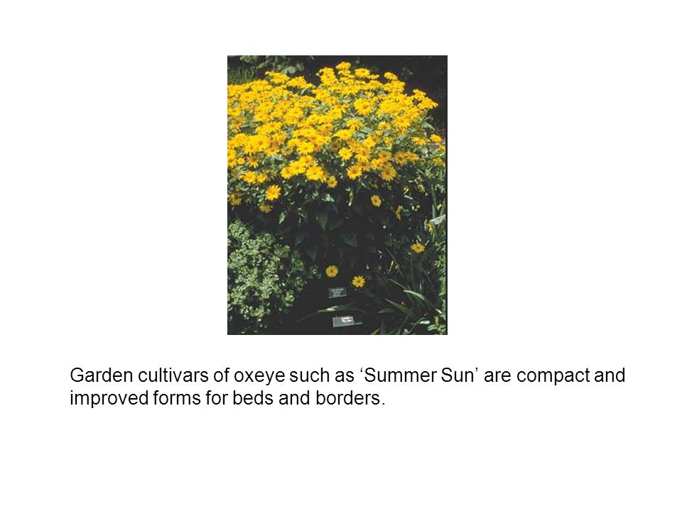 Garden cultivars of oxeye such as 'Summer Sun' are compact and improved forms for beds and borders.