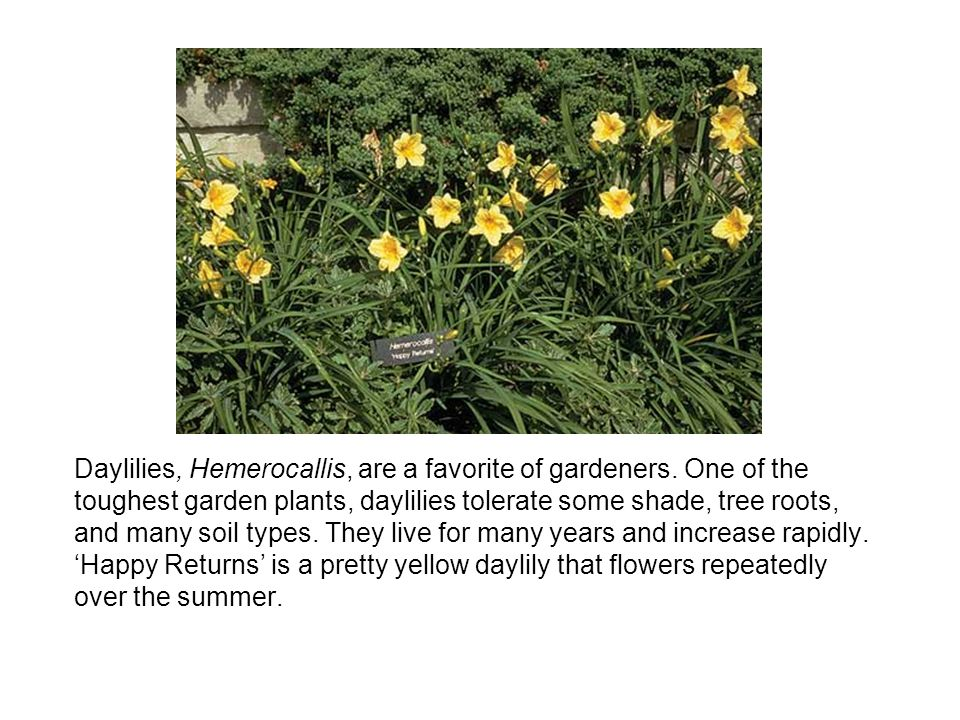 Daylilies, Hemerocallis, are a favorite of gardeners