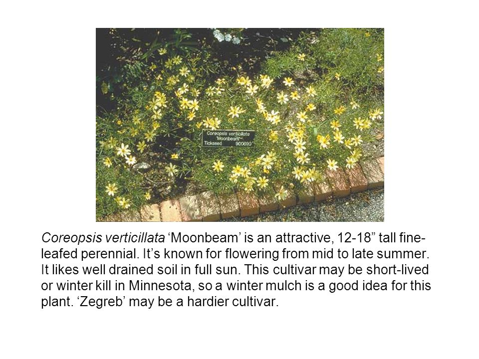 Coreopsis verticillata 'Moonbeam' is an attractive, 12-18 tall fine-leafed perennial.