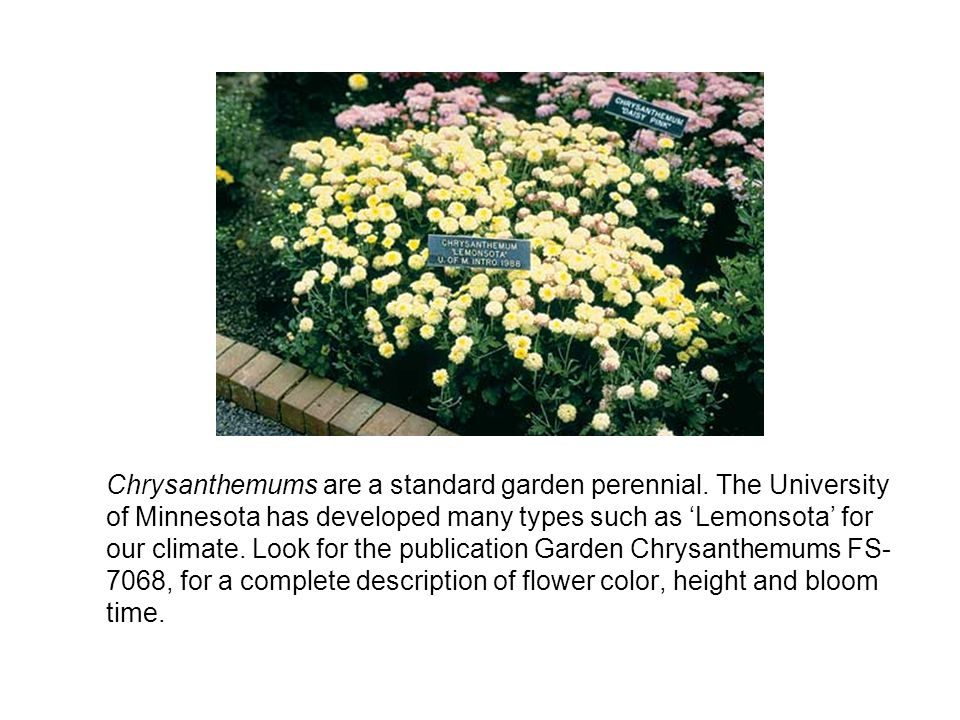 Chrysanthemums are a standard garden perennial