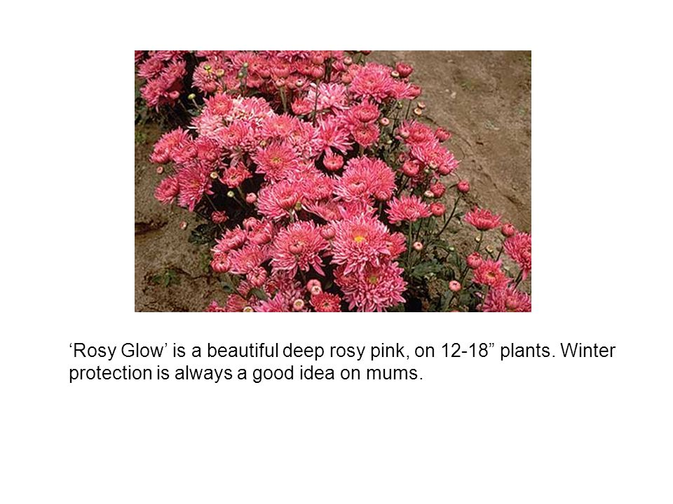 'Rosy Glow' is a beautiful deep rosy pink, on 12-18 plants