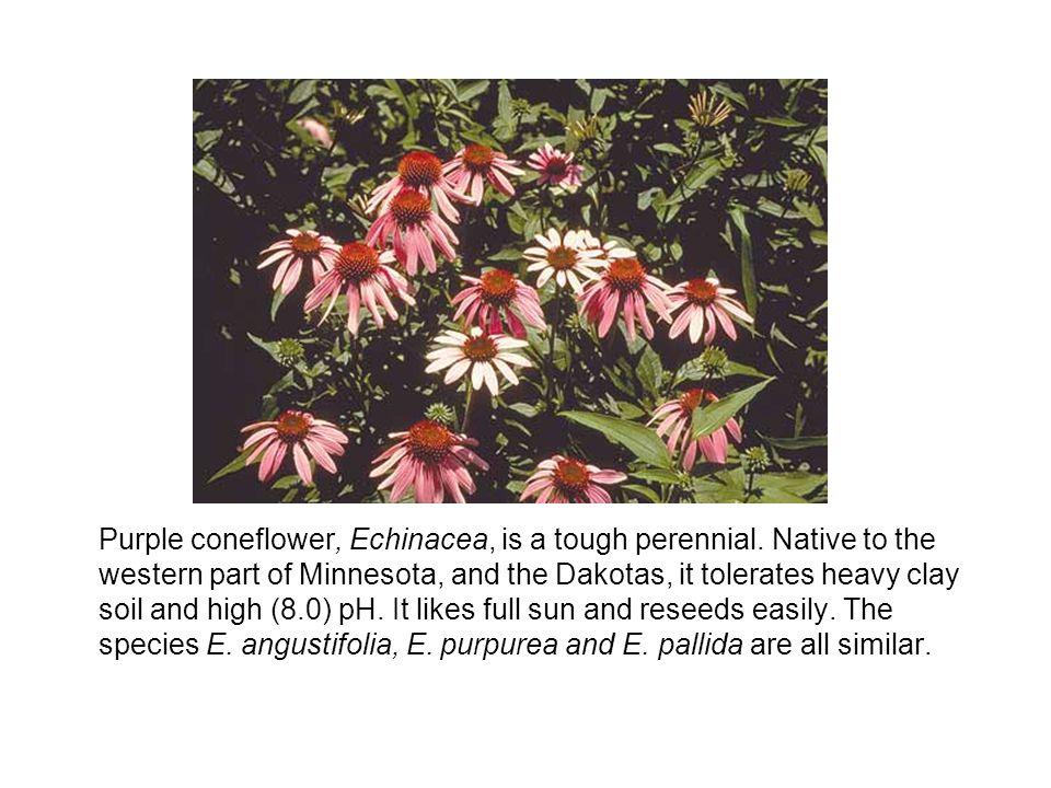Purple coneflower, Echinacea, is a tough perennial