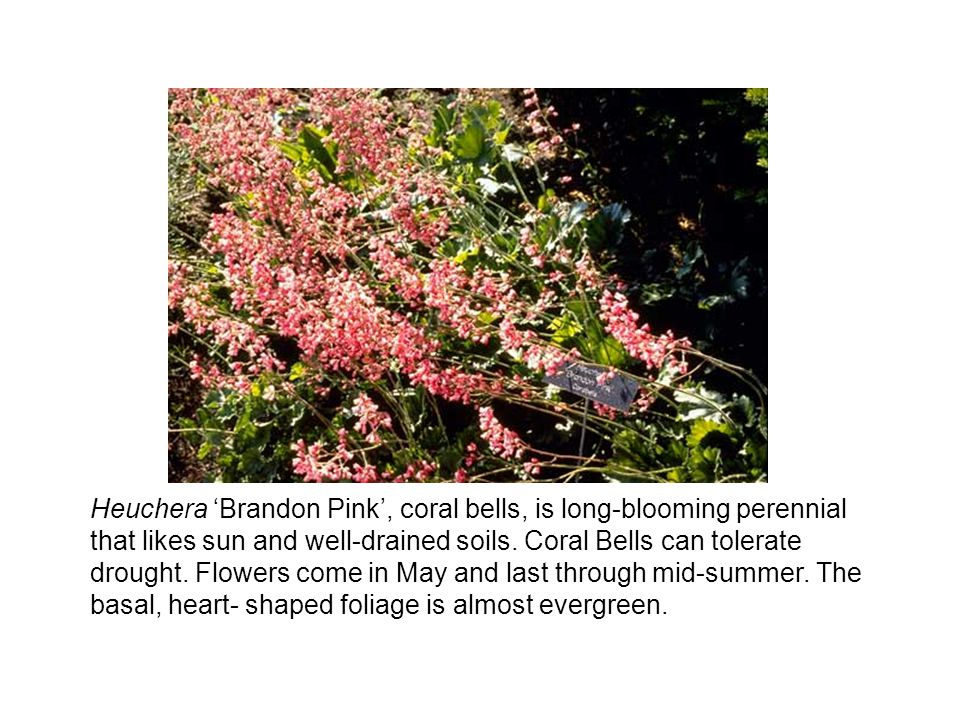 Heuchera 'Brandon Pink', coral bells, is long-blooming perennial that likes sun and well-drained soils.