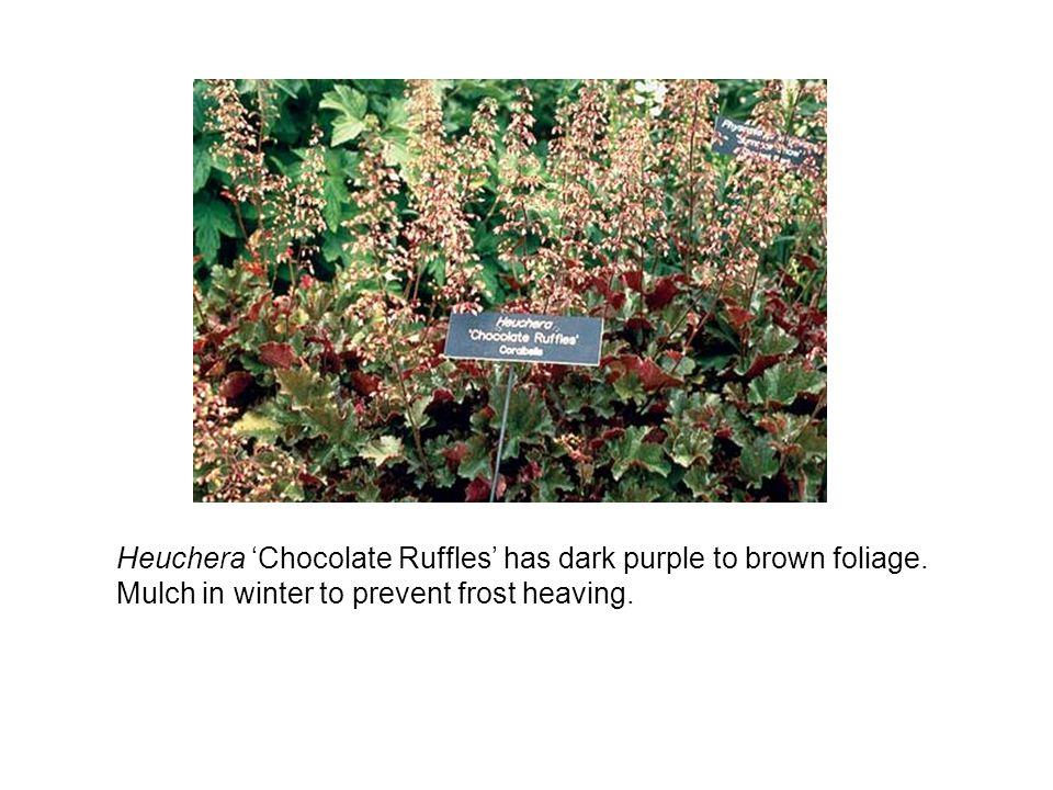Heuchera 'Chocolate Ruffles' has dark purple to brown foliage