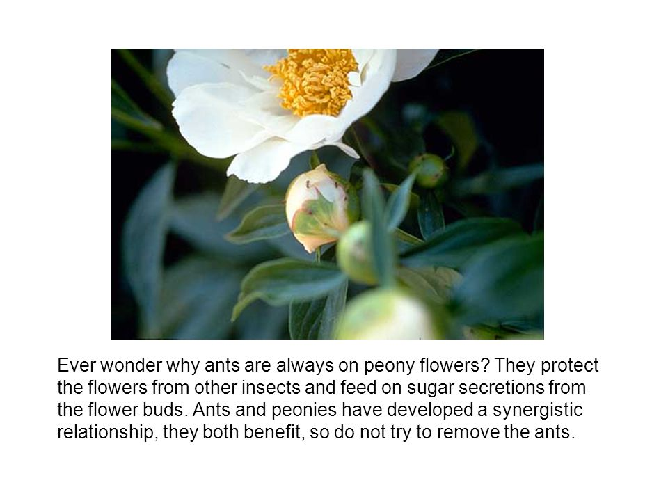 Ever wonder why ants are always on peony flowers