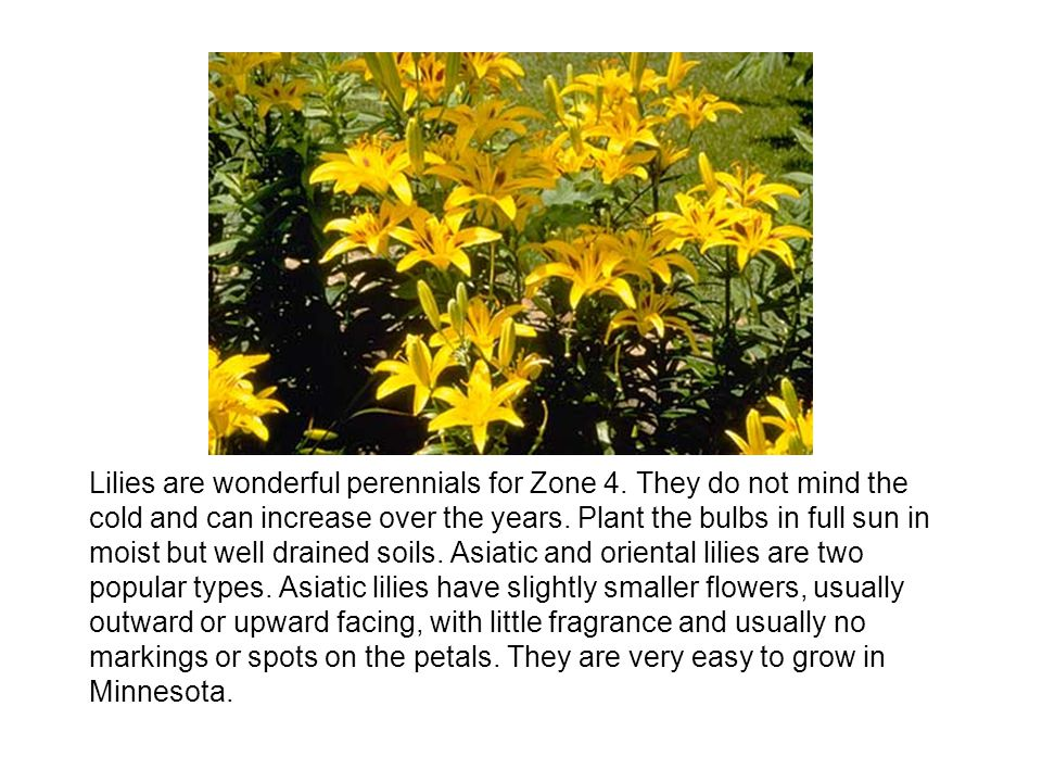 Lilies are wonderful perennials for Zone 4