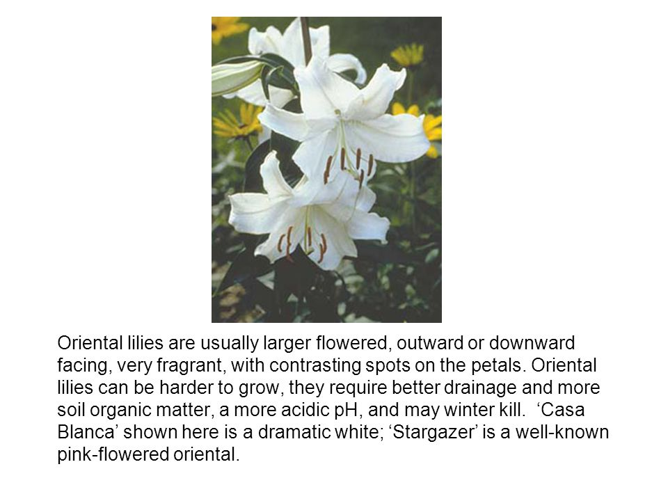 Oriental lilies are usually larger flowered, outward or downward facing, very fragrant, with contrasting spots on the petals.