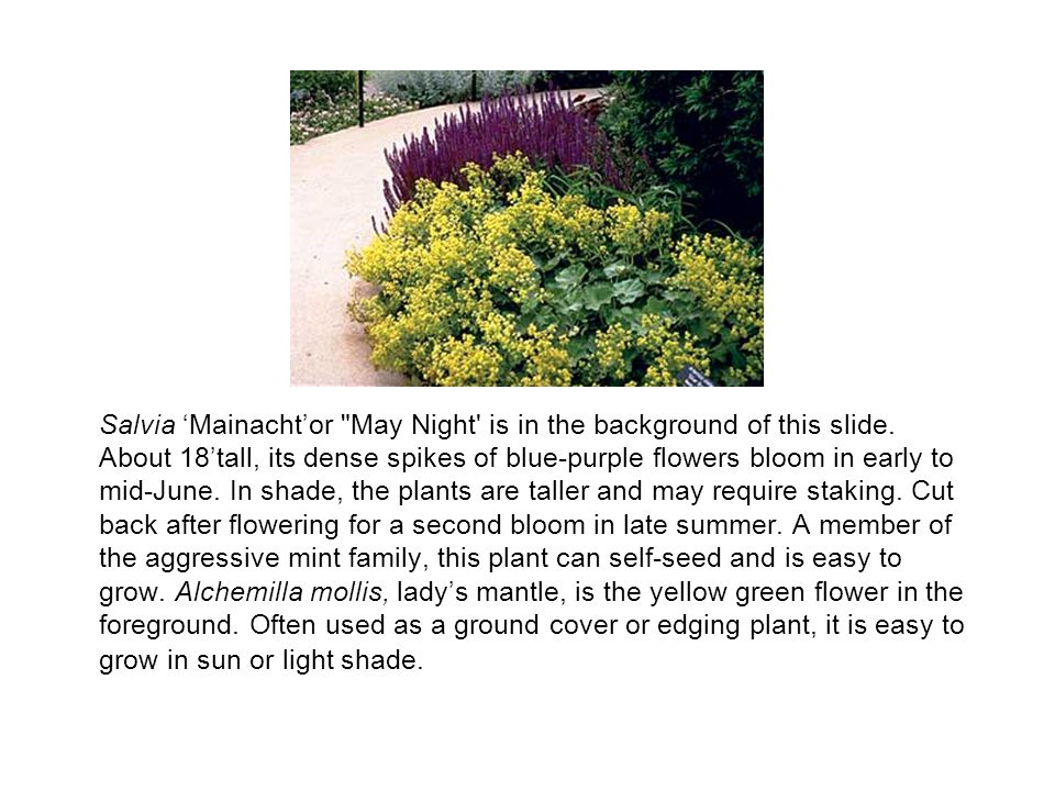 Salvia 'Mainacht'or May Night is in the background of this slide