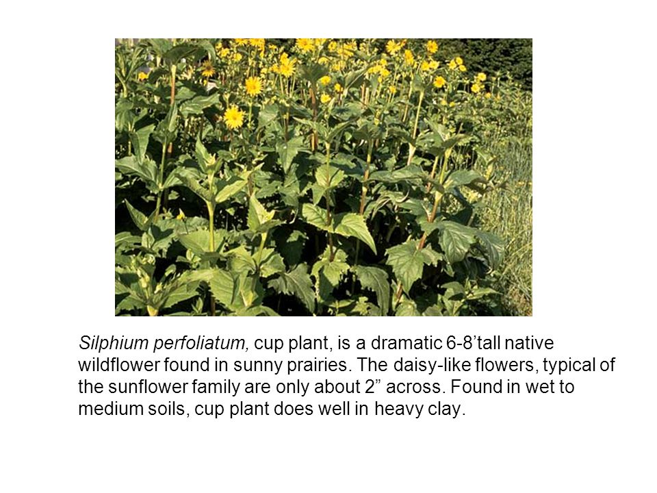Silphium perfoliatum, cup plant, is a dramatic 6-8'tall native wildflower found in sunny prairies.