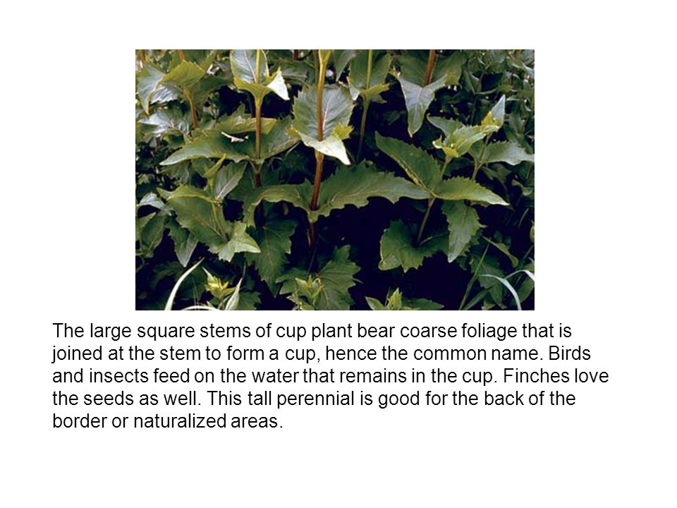 The large square stems of cup plant bear coarse foliage that is joined at the stem to form a cup, hence the common name.