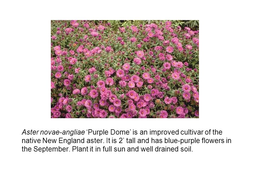 Aster novae-angliae 'Purple Dome' is an improved cultivar of the native New England aster.
