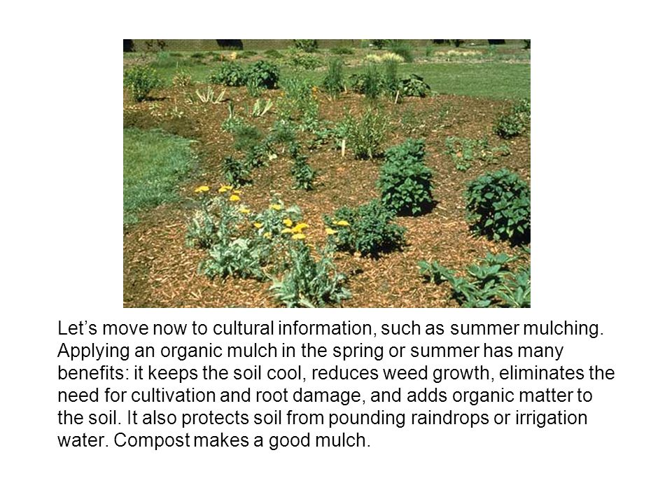 Let's move now to cultural information, such as summer mulching