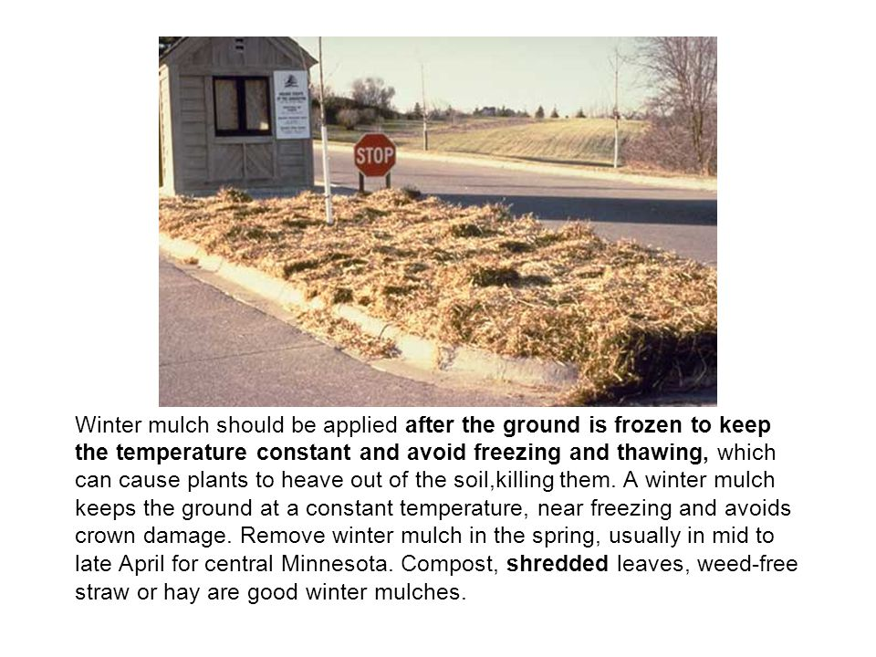 Winter mulch should be applied after the ground is frozen to keep the temperature constant and avoid freezing and thawing, which can cause plants to heave out of the soil,killing them.