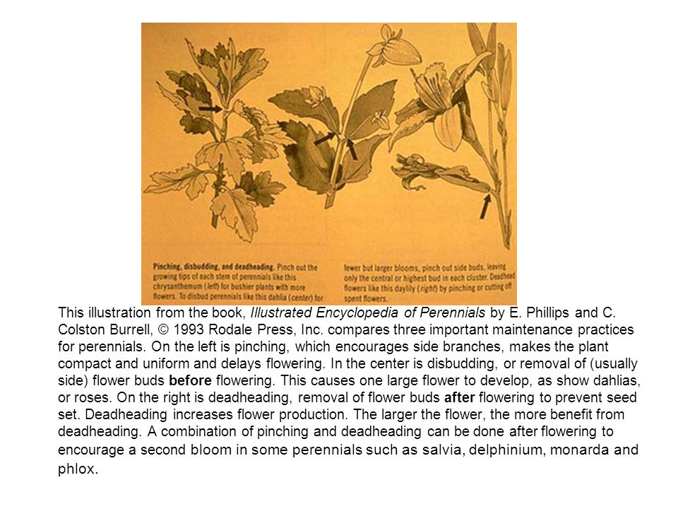 This illustration from the book, Illustrated Encyclopedia of Perennials by E.