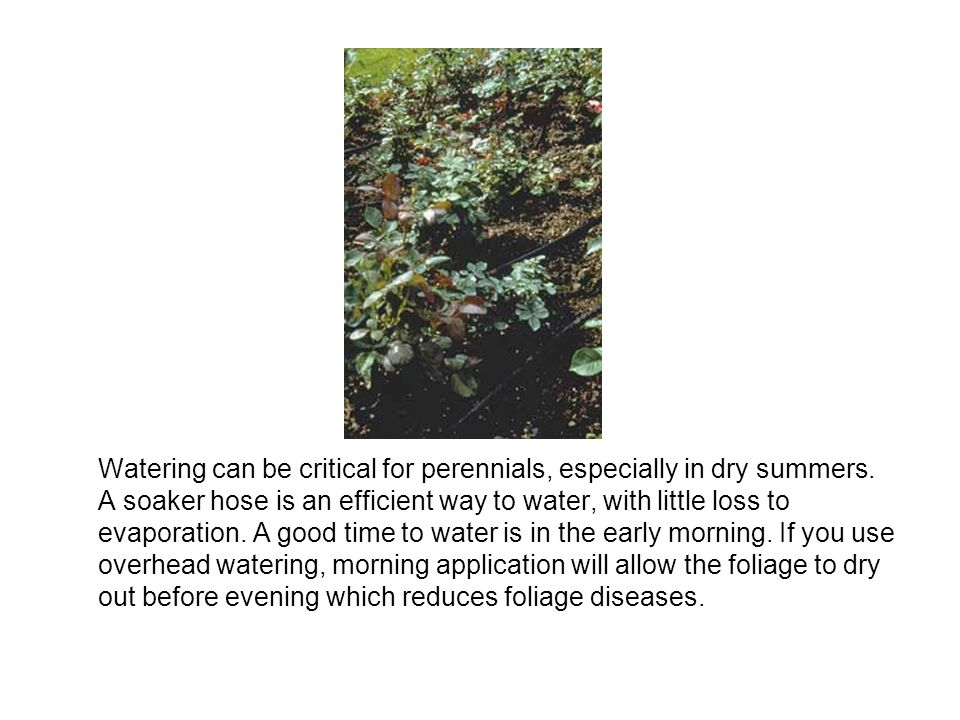 Watering can be critical for perennials, especially in dry summers