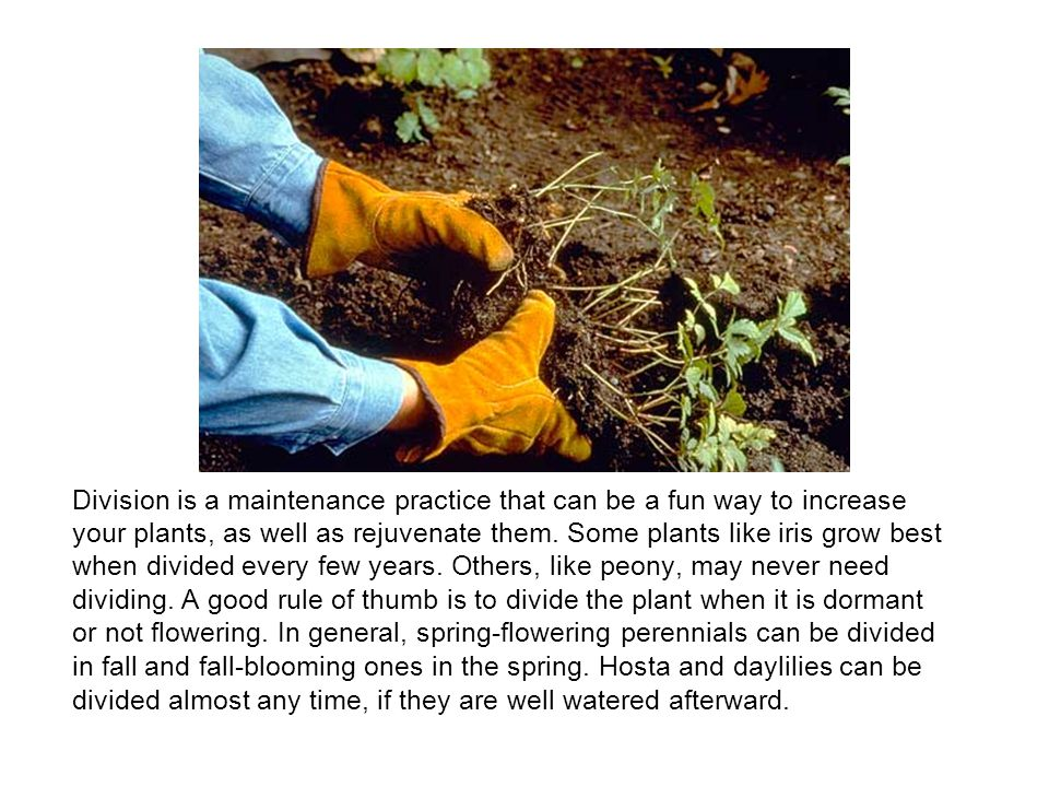 Division is a maintenance practice that can be a fun way to increase your plants, as well as rejuvenate them.