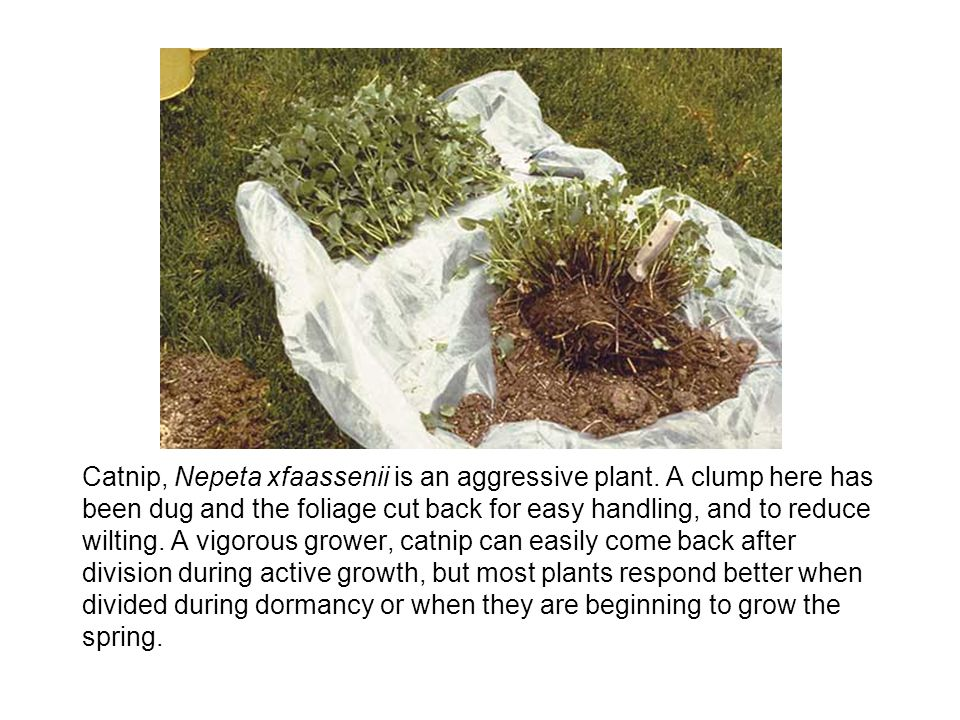 Catnip, Nepeta xfaassenii is an aggressive plant