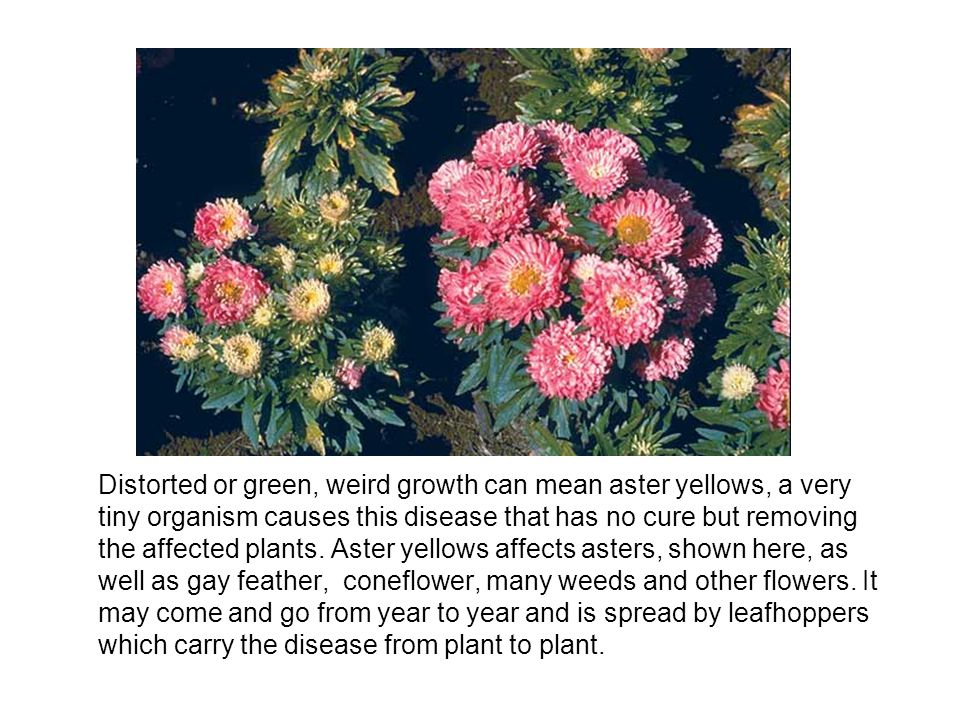 Distorted or green, weird growth can mean aster yellows, a very tiny organism causes this disease that has no cure but removing the affected plants.