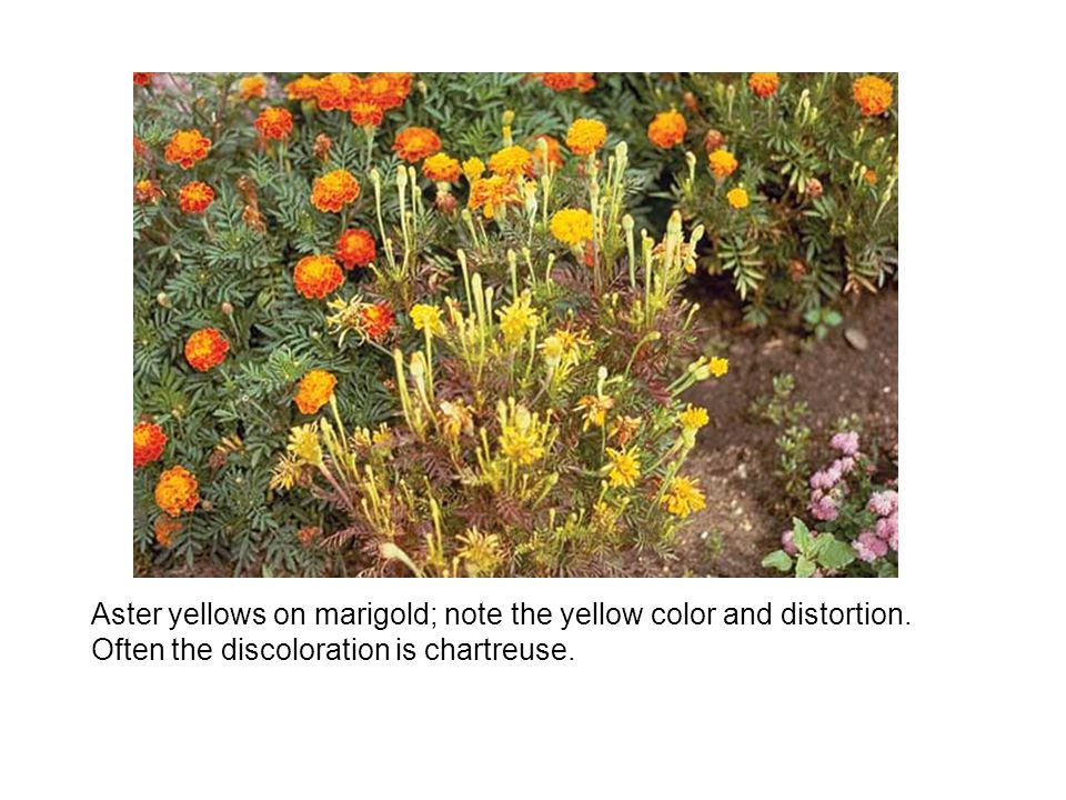 Aster yellows on marigold; note the yellow color and distortion