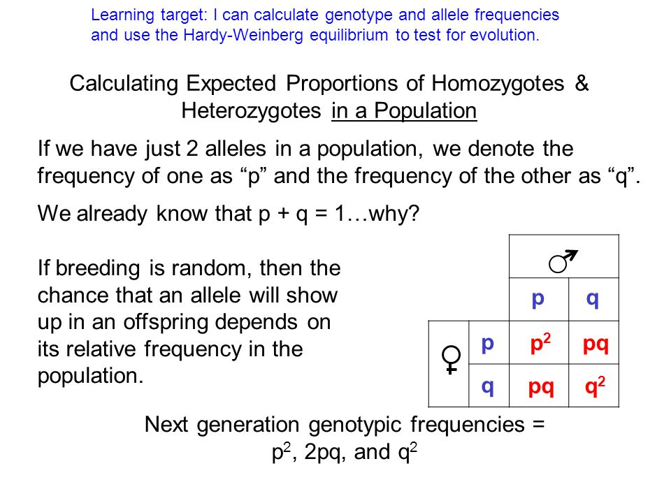 Next generation genotypic frequencies = p2, 2pq, and q2