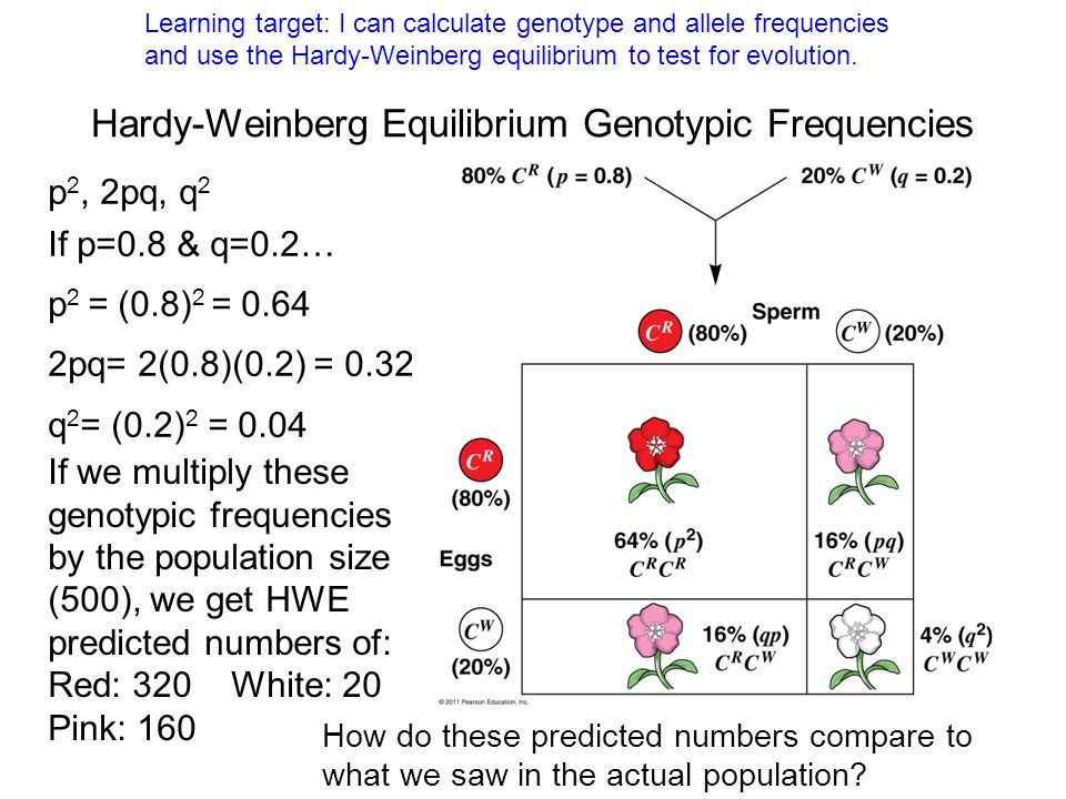 Hardy-Weinberg Equilibrium Genotypic Frequencies