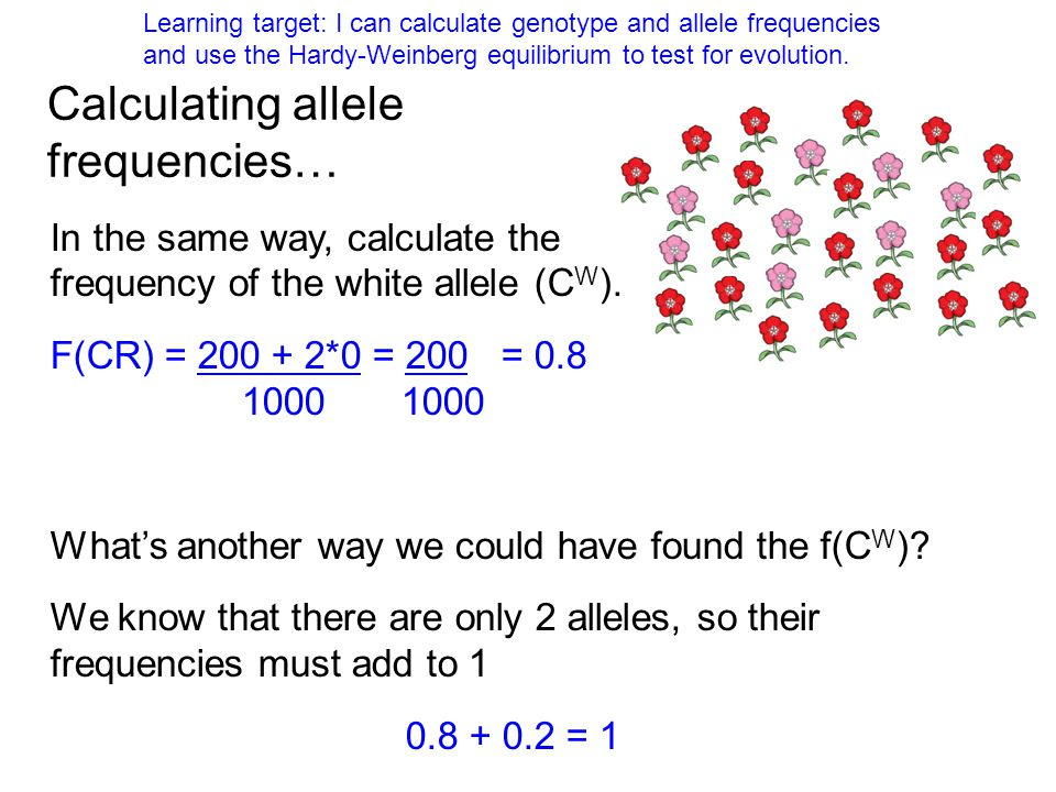 calculation of allele and genotype freq Genetic variation - from genotype frequencies to if we know the genotype frequencies, we can calculate the to calculate the allele frequency p of the.